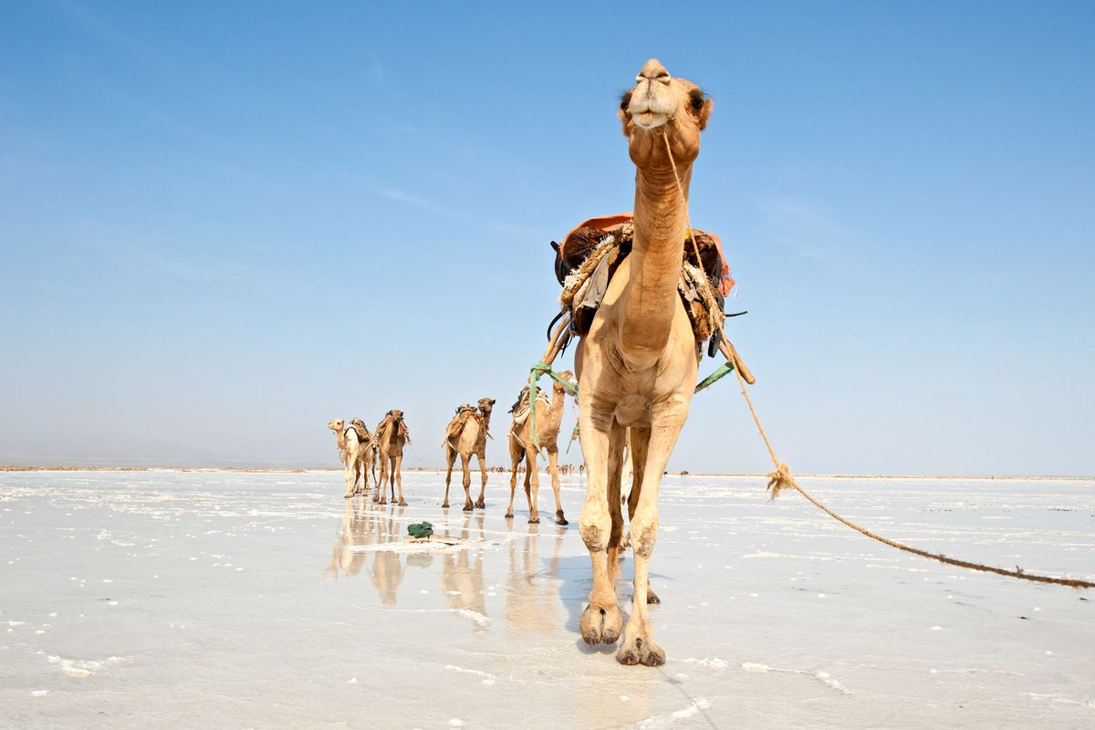 lake-asale-camels-ethiopia-adventure-tours.jpg