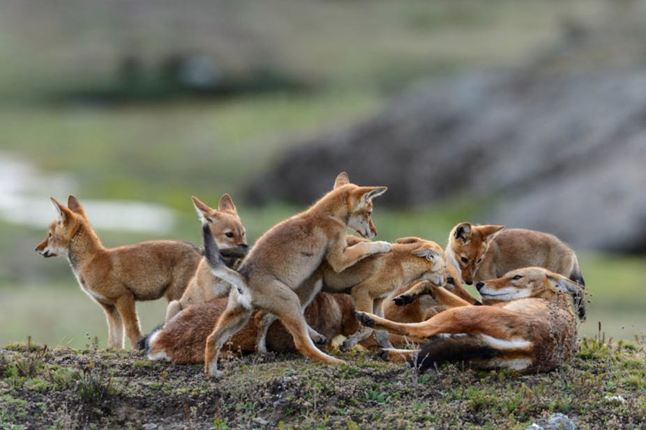 wolves-ethiopia-adventure-tours.jpg