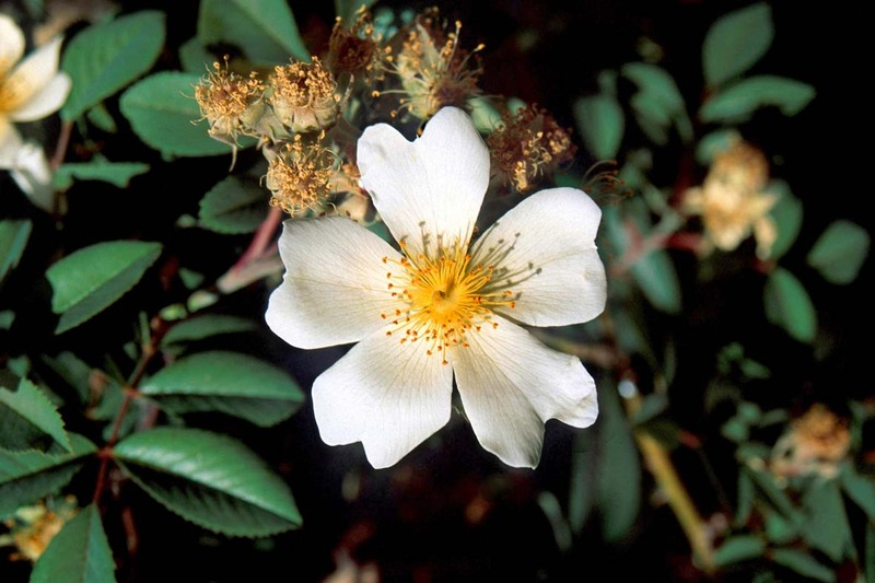 Rosa abyssinica