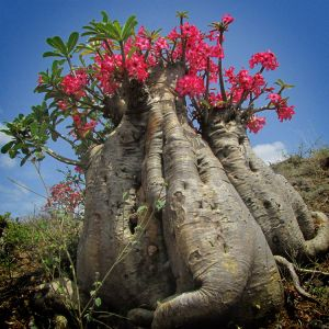 Socotra-Desert-Rose-Bottle-Tree-Ethiopian-Adventure-Tours-Flora.jpg