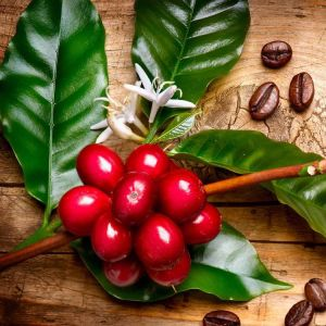 Coffea-Arabica-Ethiopian-Adventure-Tours-Flora.jpg