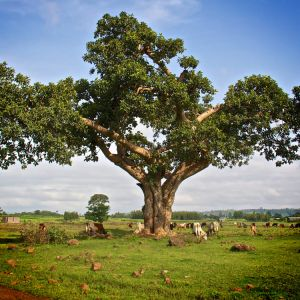 Acacian-tree-Ethiopian-Adventure-Tours-Flora.jpg
