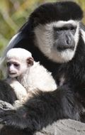 Colobus-monkey-thumb.jpg