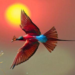 Carmine-Bee-Eater-Ethiopian-Adventure-Tours.jpg