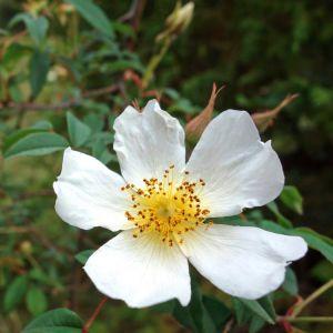 Rosa-Abyssinica-Ethiopian-Adventure-Tours-Flora.jpg
