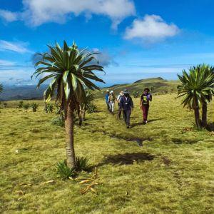 Giant-lobelias-Ethiopian-Adventure-Tours-Flora.jpg